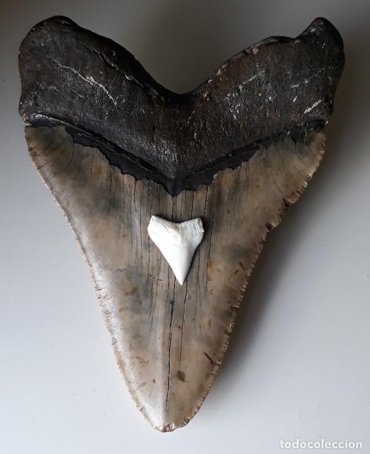 Coleccionismo de fósiles: ENORME DIENTE FÓSIL DE TIBURÓN MEGALODÓN. 14,60 CM. PESCA. BUCEO. + DIENTE DE TIBURON ACTUAL - Foto 4 - 166523626