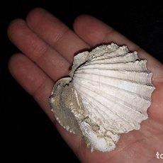 Coleccionismo de fósiles: FOSIL- BIVALVO ACANTHOCARDIA PAUCICOSTATA Y GLYCYMERIS INSUBRICA. Lote 183010291