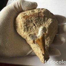 Coleccionismo de fósiles: DIENTE FÓSIL DE TIBURÓN DEL CRETÁCICO, LAMNA OBLIQUA, 70-66 MILLONES DE AÑOS. EN SU MATRIZ ORIGINAL.. Lote 183255823