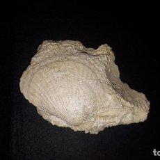 Coleccionismo de fósiles: FOSIL- AEQUIPECTEN OPERCULARIS. Lote 183468613