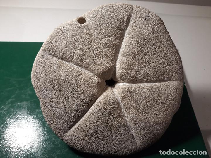 Coleccionismo de fósiles: Erizo fósil. Clypeaster Echinoid Fossil Mioceno - Foto 4 - 184636913
