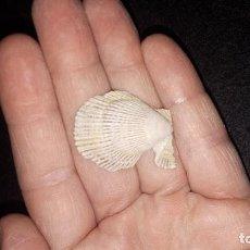 Coleccionismo de fósiles: FOSIL- BIVALVO CHLAMYS MULTISTRIATA. Lote 184867401