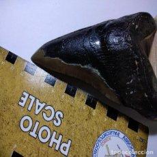 Coleccionismo de fósiles: DIENTE DE TIBURON CARCHARODON MEGALODON. MIOCENO.POTUGAL.. Lote 186312120