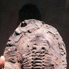 Coleccionismo de fósiles: TRILOBITE ANDALUSIANA.. Lote 186548105