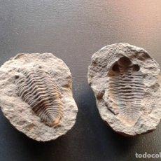Coleccionismo de fósiles: SINGULAR FOSIL. Lote 187153093