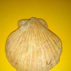 Coleccionismo de fósiles: MOLUSCO FÓSIL FLABELLIPECTEN FLABELLIFORMIS. Lote 187444467