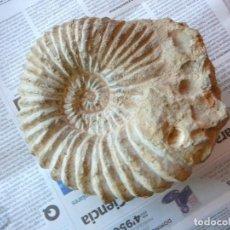 Coleccionismo de fósiles: AMMONITE. Lote 188409693