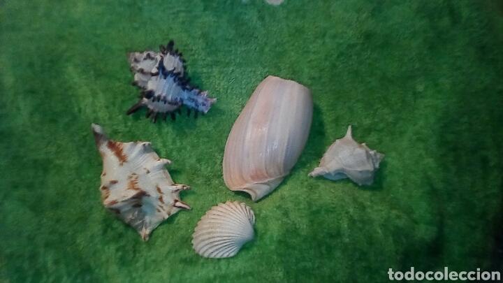 4CARACOLAS Y UNA CONCHA MIDEN ENTRE 5 A9CM (Coleccionismo - Fósiles)