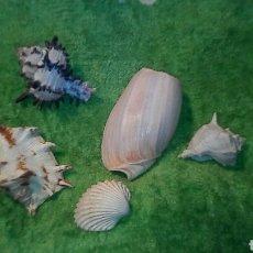 Coleccionismo de fósiles: 4CARACOLAS Y UNA CONCHA MIDEN ENTRE 5 A9CM. Lote 189526142