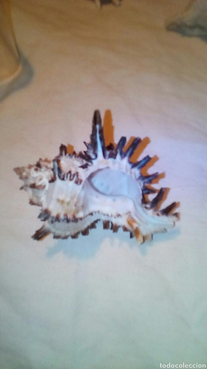 Coleccionismo de fósiles: 4caracolas y una concha miden entre 5 a9cm - Foto 3 - 189526142