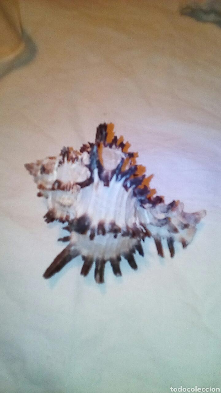 Coleccionismo de fósiles: 4caracolas y una concha miden entre 5 a9cm - Foto 7 - 189526142