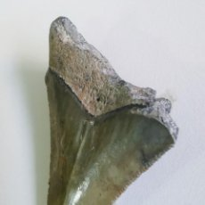 Coleccionismo de fósiles: DIENTE DE MEGALODON, PLIOCENO. FLORIDA, USA. . Lote 190733037