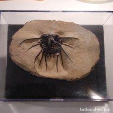 Coleccionismo de fósiles: FOSIL DE TRILOBITES DIACRUNUS DEL DEVONICO DE MARRUECOS.. Lote 191254181
