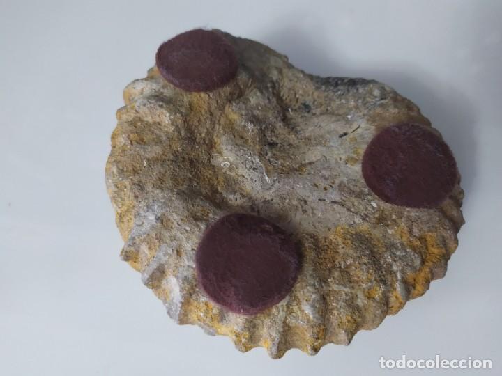 Coleccionismo de fósiles: Caracola fósil 14cm de diámetro - Foto 5 - 191366836