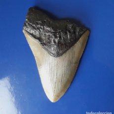 Coleccionismo de fósiles: DIENTE FÓSIL DE TIBURÓN MEGALODÓN. 10,20 CM. PESCA. BUCEO.. Lote 191465266