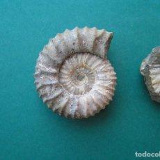 Coleccionismo de fósiles: AMMONITES FÓSIL. PAULOVIA JATRENSIS .JURÁSICO MEDIO. SIBERIA . 3,5 CM.CON CONTRAMOLDE.. Lote 192909513