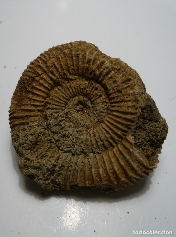 DACTYLIOCERAS ATLETICUM (Coleccionismo - Fósiles)