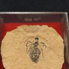 Coleccionismo de fósiles: LARVA DE LIBELULA DORIS - MIOCENO SUPERIOR - ITALIA - LIBELUL 1,5X1CM MATRIZ 3X3CM. Lote 193906321