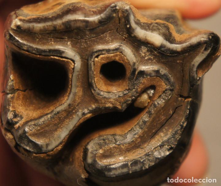 Coleccionismo de fósiles: Molar (diente) de Rinoceronte Lanudo (Woolly Rhinoceros) Coelodonta Antiquitatis del Pleistoceno - Foto 2 - 194076350