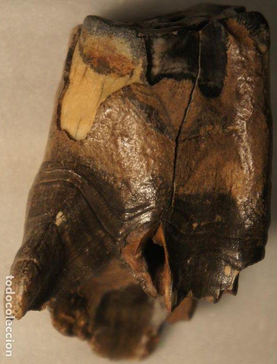 Coleccionismo de fósiles: Molar (diente) de Rinoceronte Lanudo (Woolly Rhinoceros) Coelodonta Antiquitatis del Pleistoceno - Foto 3 - 194076350