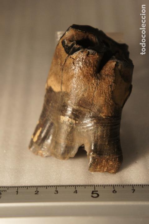 Coleccionismo de fósiles: Molar (diente) de Rinoceronte Lanudo (Woolly Rhinoceros) Coelodonta Antiquitatis del Pleistoceno - Foto 4 - 194076350