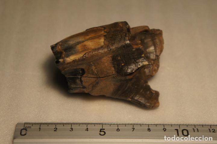MOLAR (DIENTE) DE RINOCERONTE LANUDO (WOOLLY RHINOCEROS) COELODONTA ANTIQUITATIS DEL PLEISTOCENO (Coleccionismo - Fósiles)