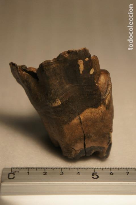 Coleccionismo de fósiles: Molar (diente) de Rinoceronte Lanudo (Woolly Rhinoceros) Coelodonta Antiquitatis del Pleistoceno - Foto 8 - 194076350