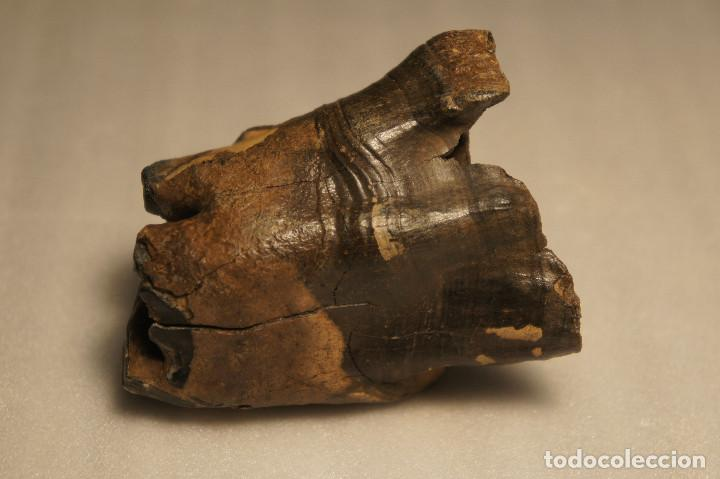 Coleccionismo de fósiles: Molar (diente) de Rinoceronte Lanudo (Woolly Rhinoceros) Coelodonta Antiquitatis del Pleistoceno - Foto 11 - 194076350