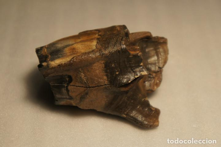 Coleccionismo de fósiles: Molar (diente) de Rinoceronte Lanudo (Woolly Rhinoceros) Coelodonta Antiquitatis del Pleistoceno - Foto 13 - 194076350