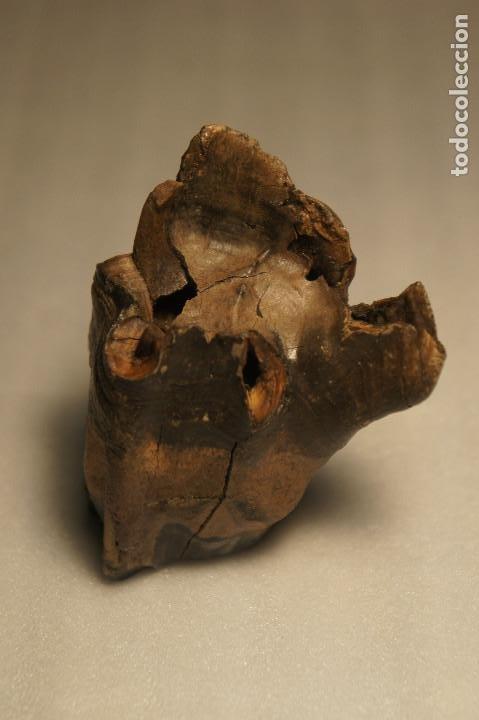 Coleccionismo de fósiles: Molar (diente) de Rinoceronte Lanudo (Woolly Rhinoceros) Coelodonta Antiquitatis del Pleistoceno - Foto 16 - 194076350