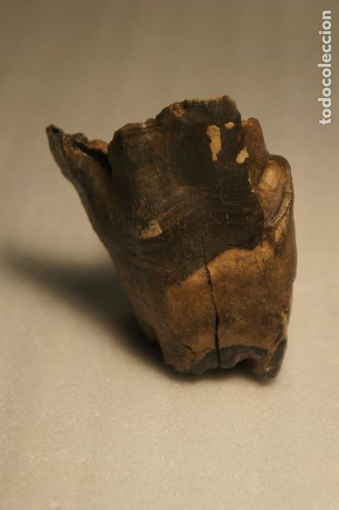 Coleccionismo de fósiles: Molar (diente) de Rinoceronte Lanudo (Woolly Rhinoceros) Coelodonta Antiquitatis del Pleistoceno - Foto 18 - 194076350