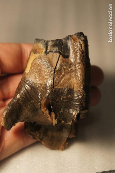 Coleccionismo de fósiles: Molar (diente) de Rinoceronte Lanudo (Woolly Rhinoceros) Coelodonta Antiquitatis del Pleistoceno - Foto 22 - 194076350