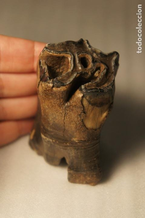 Coleccionismo de fósiles: Molar (diente) de Rinoceronte Lanudo (Woolly Rhinoceros) Coelodonta Antiquitatis del Pleistoceno - Foto 23 - 194076350