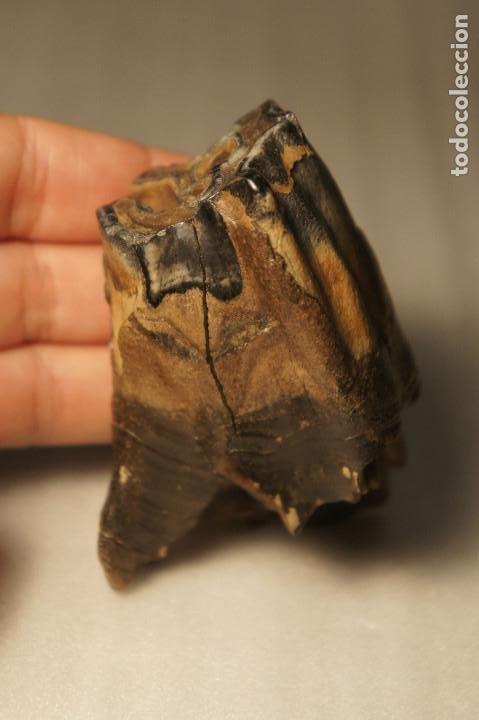 Coleccionismo de fósiles: Molar (diente) de Rinoceronte Lanudo (Woolly Rhinoceros) Coelodonta Antiquitatis del Pleistoceno - Foto 26 - 194076350