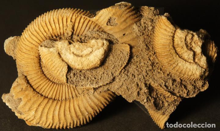 AMMONITES DACTYLIOCERAS ATHLETICUM CON MALFORMACIÓN. SCHLAIFHAUSEN, ALEMANIA (Coleccionismo - Fósiles)