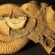 Coleccionismo de fósiles: AMMONITES DACTYLIOCERAS ATHLETICUM CON MALFORMACIÓN. SCHLAIFHAUSEN, ALEMANIA. Lote 194096533