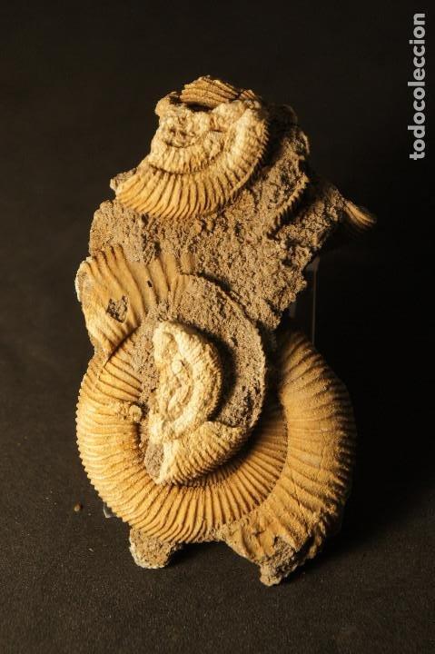 Coleccionismo de fósiles: Ammonites Dactylioceras athleticum con malformación. Schlaifhausen, Alemania - Foto 2 - 194096533