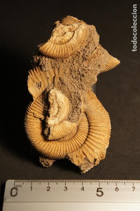 Coleccionismo de fósiles: Ammonites Dactylioceras athleticum con malformación. Schlaifhausen, Alemania - Foto 4 - 194096533
