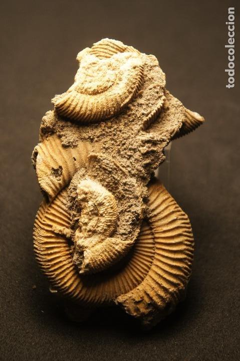 Coleccionismo de fósiles: Ammonites Dactylioceras athleticum con malformación. Schlaifhausen, Alemania - Foto 6 - 194096533