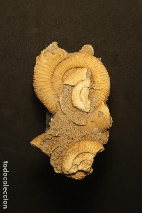Coleccionismo de fósiles: Ammonites Dactylioceras athleticum con malformación. Schlaifhausen, Alemania - Foto 7 - 194096533