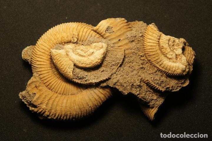Coleccionismo de fósiles: Ammonites Dactylioceras athleticum con malformación. Schlaifhausen, Alemania - Foto 11 - 194096533