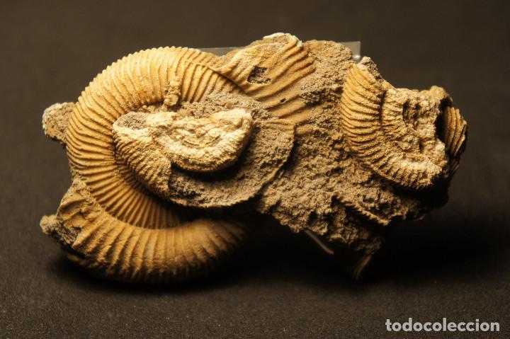 Coleccionismo de fósiles: Ammonites Dactylioceras athleticum con malformación. Schlaifhausen, Alemania - Foto 12 - 194096533