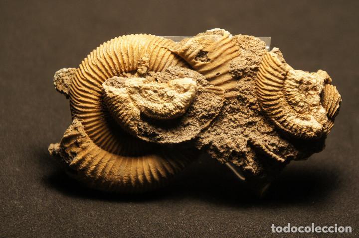 Coleccionismo de fósiles: Ammonites Dactylioceras athleticum con malformación. Schlaifhausen, Alemania - Foto 13 - 194096533