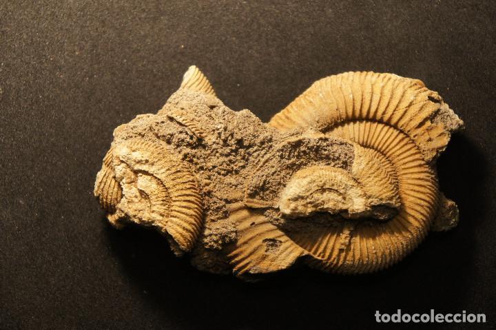 Coleccionismo de fósiles: Ammonites Dactylioceras athleticum con malformación. Schlaifhausen, Alemania - Foto 15 - 194096533