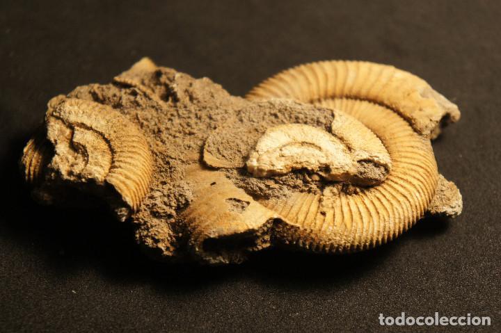 Coleccionismo de fósiles: Ammonites Dactylioceras athleticum con malformación. Schlaifhausen, Alemania - Foto 16 - 194096533