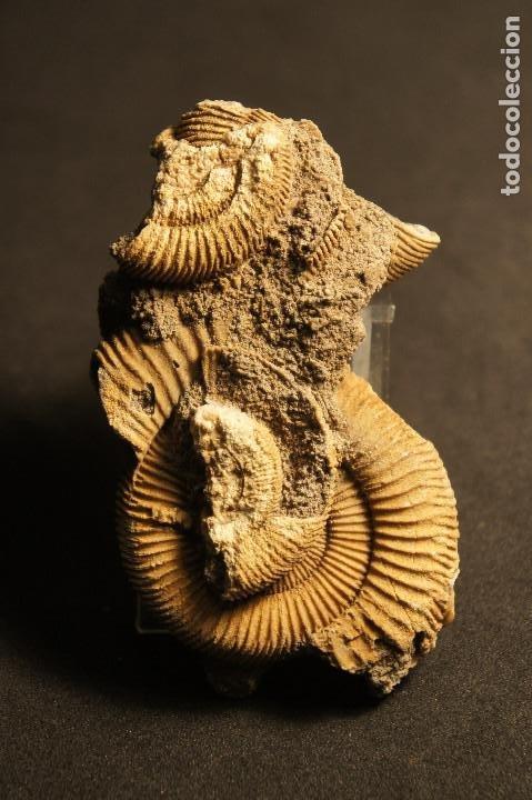 Coleccionismo de fósiles: Ammonites Dactylioceras athleticum con malformación. Schlaifhausen, Alemania - Foto 8 - 194096533