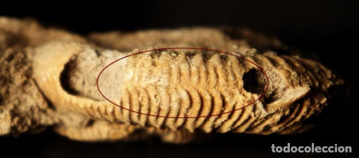 Coleccionismo de fósiles: Ammonites Dactylioceras athleticum con malformación. Schlaifhausen, Alemania - Foto 23 - 194096533
