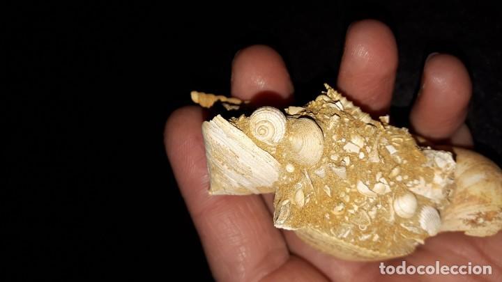 Coleccionismo de fósiles: Fosil- Gasteropodo Turritella Terebralis con Calyptraea y glycimeris en matriz - Foto 4 - 194226063