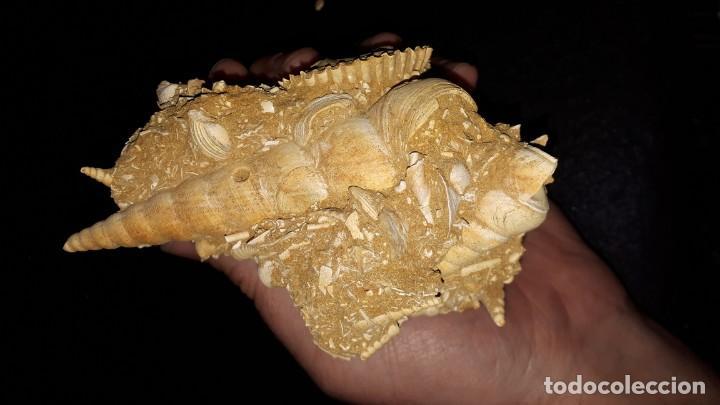 Coleccionismo de fósiles: Fosil- Gasteropodo Turritella Terebralis con cardium, turris y más en matriz - Foto 9 - 194229388
