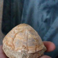 Coleccionismo de fósiles: ERIZO FÓSIL HYSOCLYPUS SEMIGLOBUS. Lote 194238452